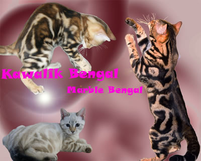 chat bengal marble