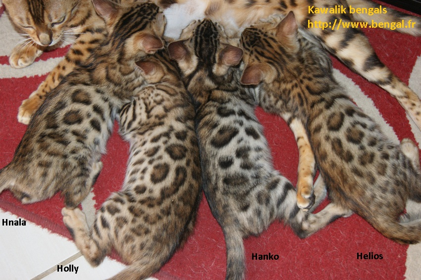 our previous litters previous bengals kittens cattery kawalik bengals. Black Bedroom Furniture Sets. Home Design Ideas