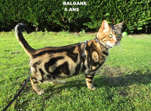 MALE BENGAL