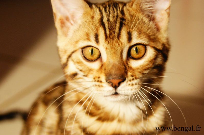 chaton bengal yeux or
