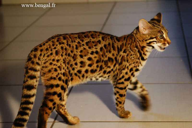 Bengal female cattery kawalik bengal - Chat type leopard ...