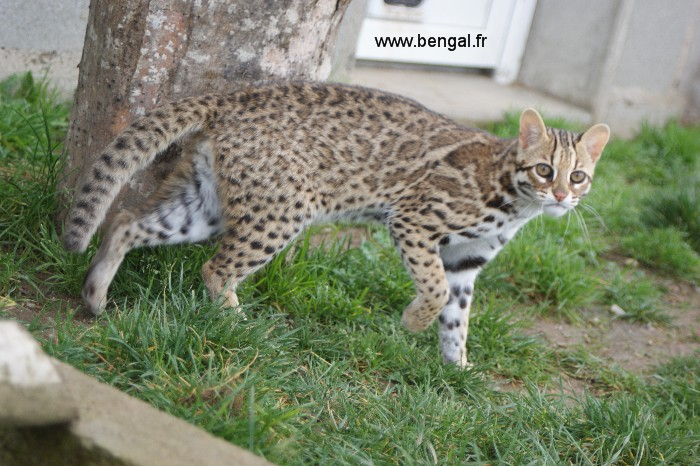 Photo de notre chat leopard d\u0027Asie (ALC)